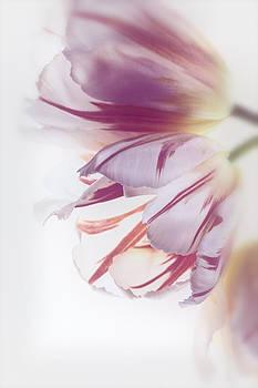 Tulips by Kim Aston