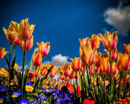 Tulips by Nick  Cardona