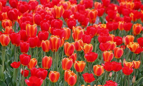 Rosanne Jordan - Tulips on Parade