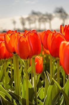 Tulips standing tall  by Yvon van der Wijk