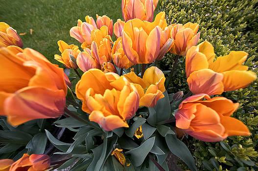 Steven Lapkin - Tulips