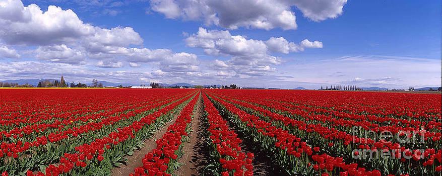 Tulips by Tim Hauf