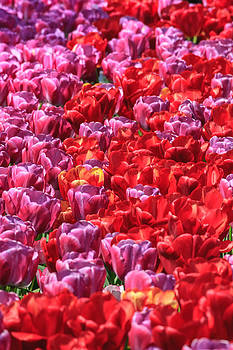 Tulips tulips tulips by Susan Leonard