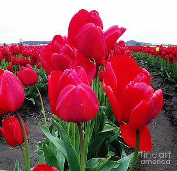 Tulips by Wendy Martin