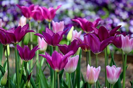 Rosanne Jordan - Tulips Without Boarders