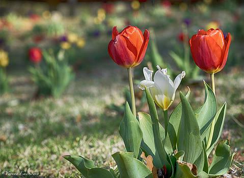 Tulips by Yvonne Emerson AKA RavenSoul