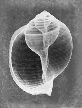 Roy Livingston - Tun Sea Shell X-ray Art
