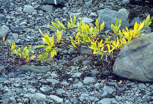 Harold E McCray - Tundra Plant