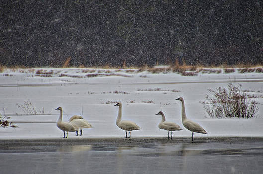 Tundra Swans in the Snow by Beth Sawickie