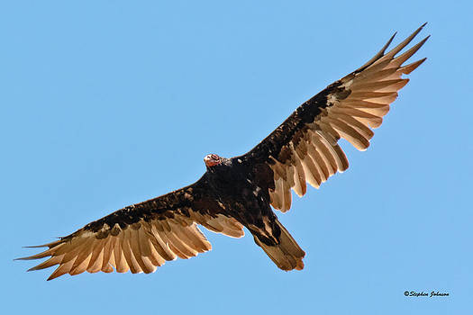 Turkey Vulture at Scout Camp by Stephen  Johnson