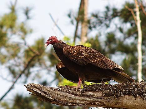 Billy  Griffis Jr - Turkey Vulture