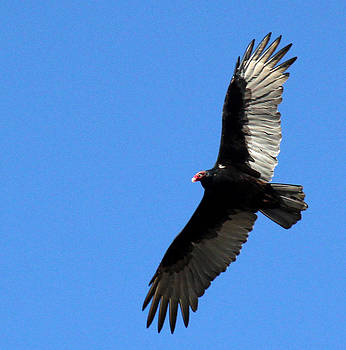 Turkey Vulture in Flight by James Hammen