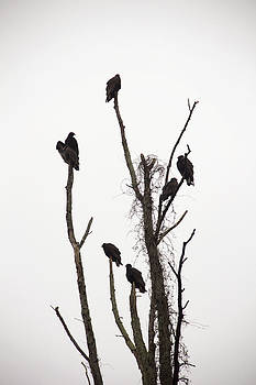 Turkey Vultures by Cassandra NightThunder