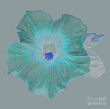 Turquoise hibiscus on grey by Rosemary Calvert