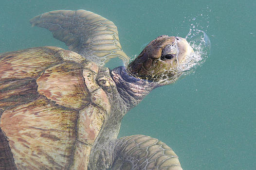 Turtle by Adrienne Franklin