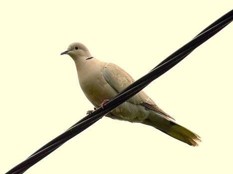 Bishopston Fine Art - Turtle Dove