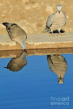 Hermanus A Alberts - Turtle Dove Reflection of Blue
