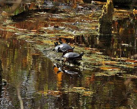 Turtle Reflections by William Fox
