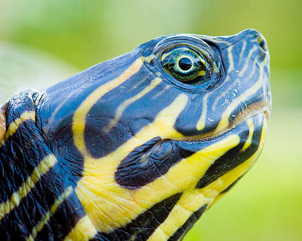 Turtle by Robert Hainer