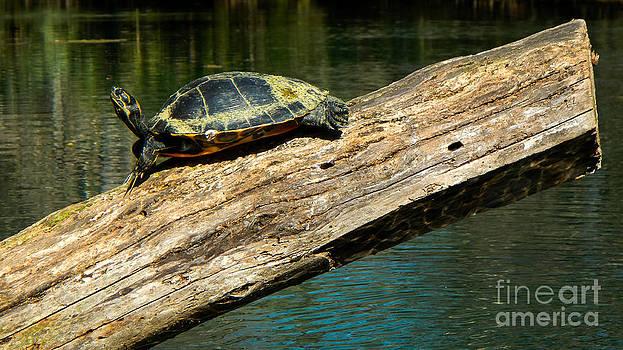 Turtle sunning on the log by Denise Ellis