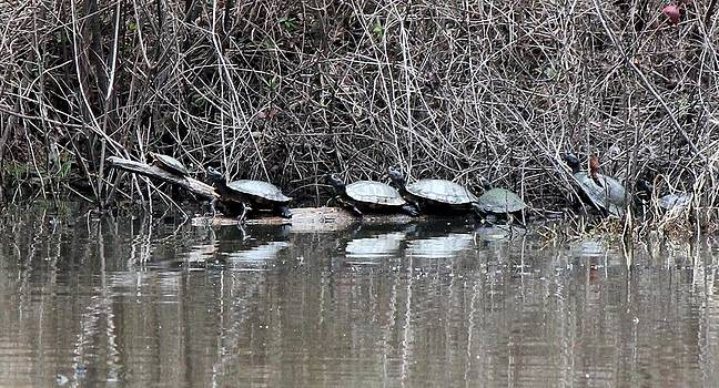 Turtle Train by Suzanne  McClain