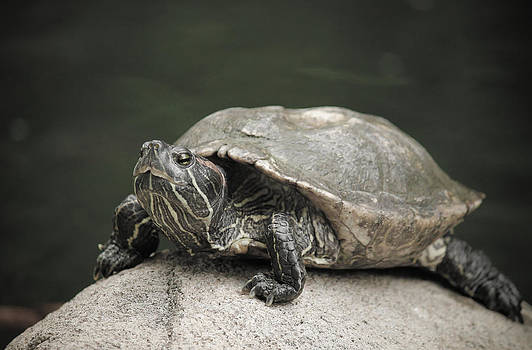 Turtle by Yekaterina Grigoryeva