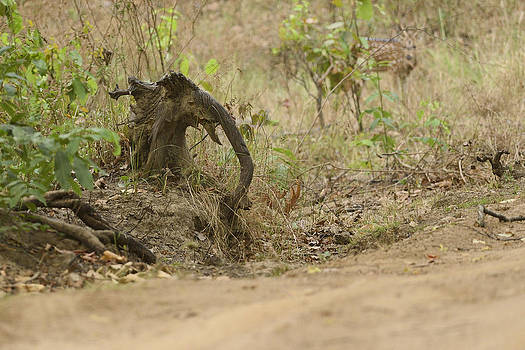 Tusker Lookalike by Fotosas Photography