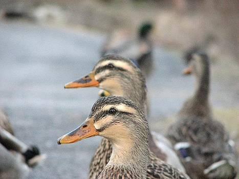 Twin Ducks by Megan Hughes