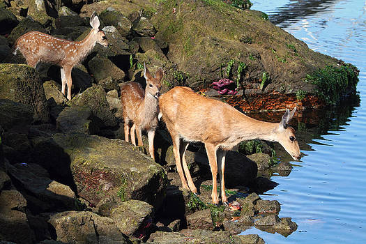 Peggy Collins - Twin Fawns and Mother Deer on the Shore