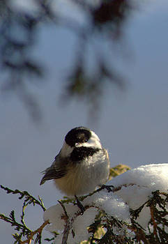 Twinkle in your eye - black capped chickadee by Monic LaRochelle