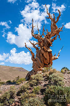 Jamie Pham - Twisted Survivor - View of the Ancient Bristlecone Pine Forest.