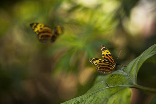 Two Butterflies by Bradley R Youngberg