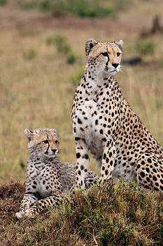 Mauverneen Blevins - Two Cheetahs
