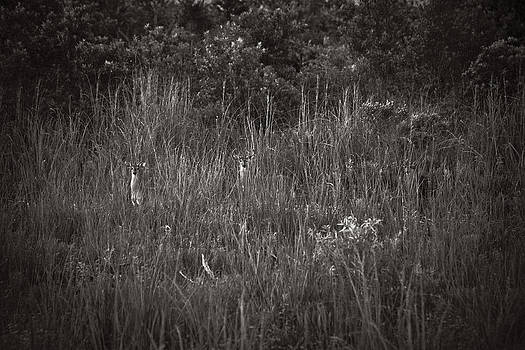 Two Deer Hiding by Bradley R Youngberg