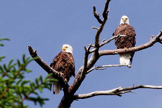 Two Eagles on Upper Wilson Pond Maine by Dana Moos