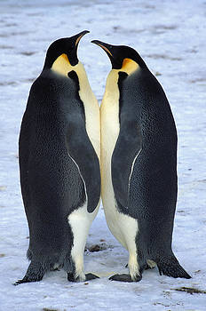 Colin Monteath - Two Emperor Penguins Face To Face