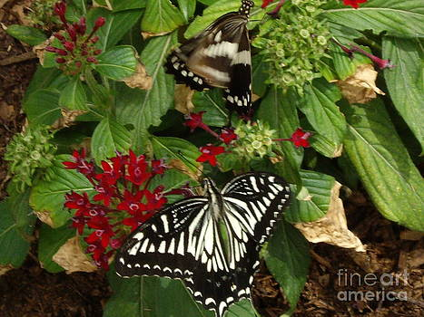Two Giant Swallowtail butterfly by Barbara Lightner