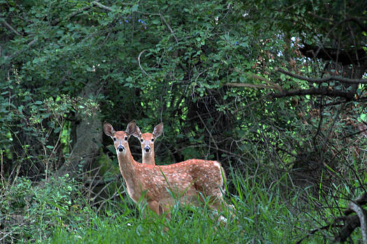 Two-headed Fawn by James Hammen