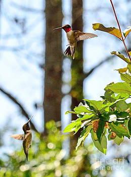 Wayne Nielsen - Two Hummingbirds in Flight Sparring Fight