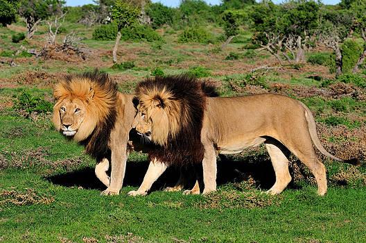 Two Kalahari lions in the Addo Elephant National  by Grobler Du Preez