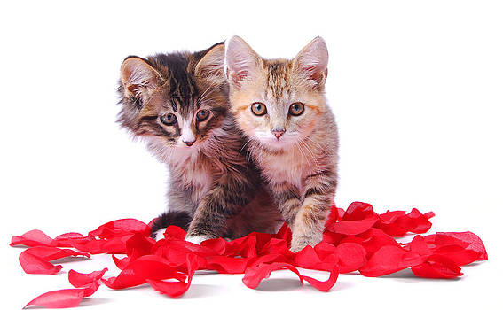 Two kittens surrounded by roses. by Perry Harmon