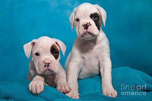 two little Boxer puppies by Doreen Zorn