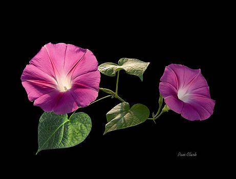 Two Morning Glories by Pam Clark