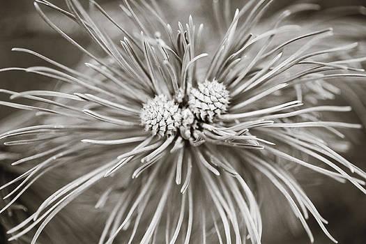 Marilyn Hunt - Two Pine Cones