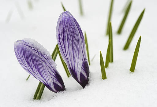 Two purple crocuses in spring with snow by Matthias Hauser