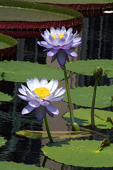 Two Purple Water Lilies  by Kristin Clarke