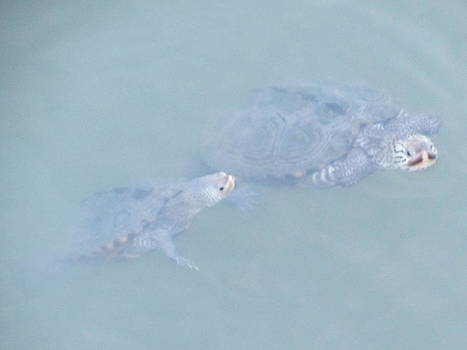 Two Rare Turtles Swam Up To See by Debbie Nester