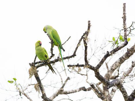 Two Rose Ringed Parakeet by Christina Rahm