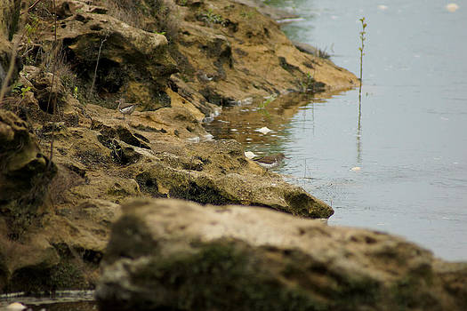 Two Spotted Sandpipers on The Flint Rivers Banks by Kim Pate