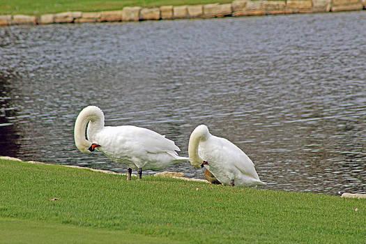 Two Swans Grooming by Carolyn Ricks